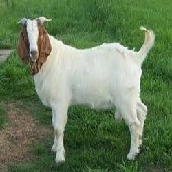 Buy Goat