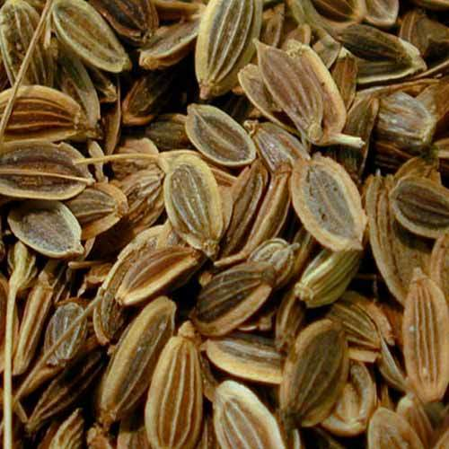 Buy Dill Seeds