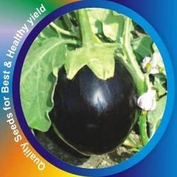 Buy Brinjal Jhumkiya Seeds
