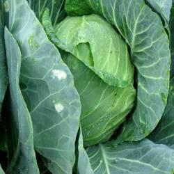 Buy Cabbage Golden Acre Seeds