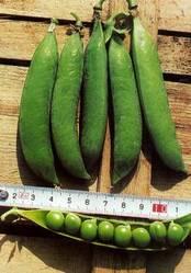 Buy Peas Pragati Seeds