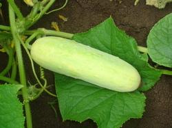 Buy Cucumber Himangi Seeds