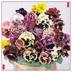 Buy Pansy-Can Mixed