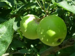 Buy Kashmiri apples