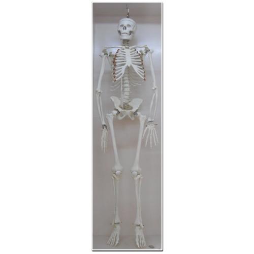 human skeleton — buy human skeleton, price , photo human skeleton, Skeleton