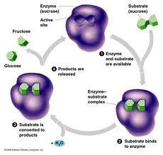 Buy Enzymes