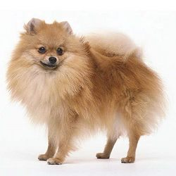 Pomeranian Dog Buy In Vadodara