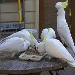 White Cockatoos buy in Gurgaon