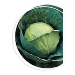 Buy Cabbage Manas