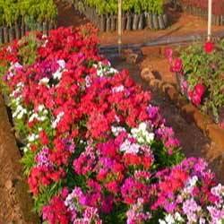 Buy Flowers Plant