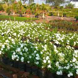 Buy Special Roses Plant