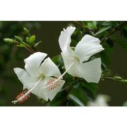 Buy Special Varieties of Hibiscus