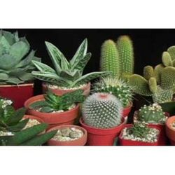 Buy Cacti and Succulents