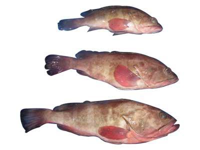 Buy Reef Cod Fish
