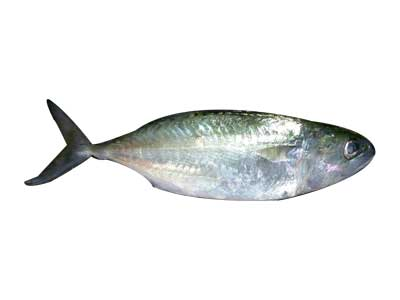 Buy Indian Mackerel Fish