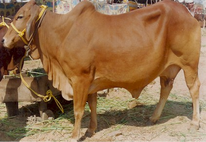 Buy Sahiwal Cow