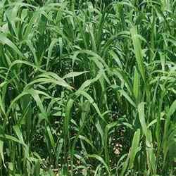 Sorghum Sudan Grass Seed