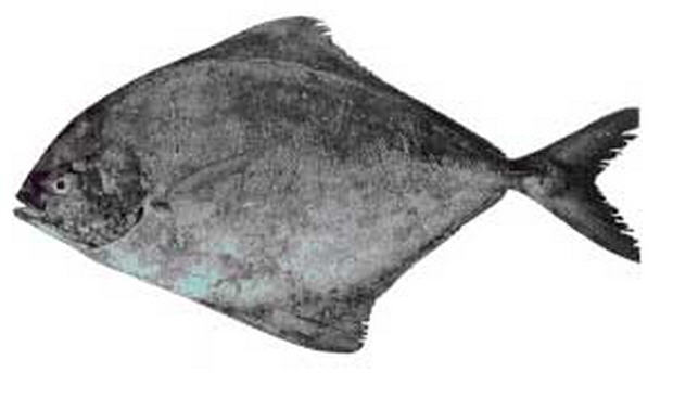 Black Pomfret FishIndian Sea Fish