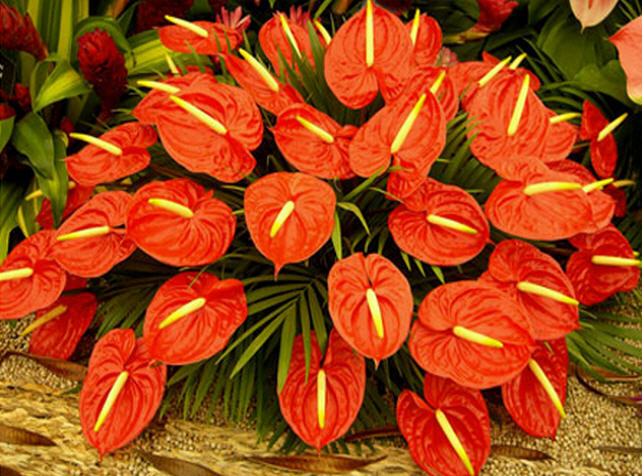 Buy Anthurium