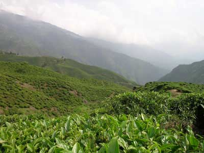 Buy Assam Green Tea