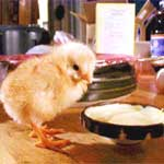 Buy Poultry Feed