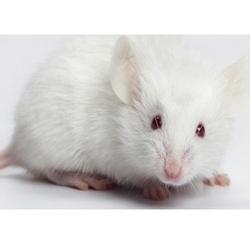 White Mouse Pet