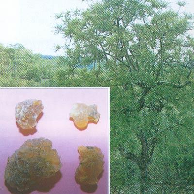 Buy Boswellia Extract