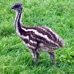 Buy Emu chicks
