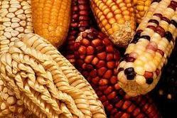 Buy Maize