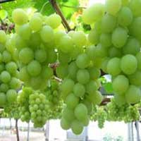 Buy Fresh Green Grapes