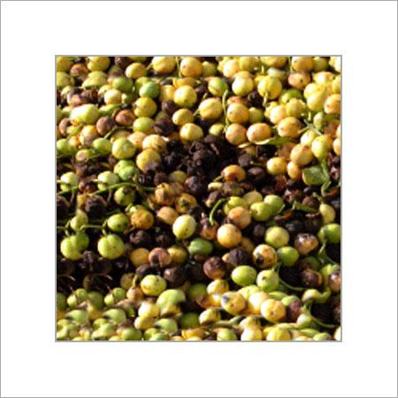 Buy Jatropha Seedlings