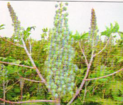 Buy Hybrid Castor Seed(sarkar-101)