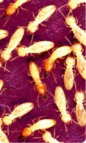 NoTermites Pesticide