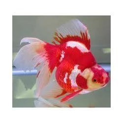Ornamental Aquarium Tropical Fish Buy In Chennai