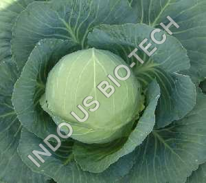 Buy Cabbage Sowing Seeds