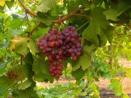 Buy Grapes