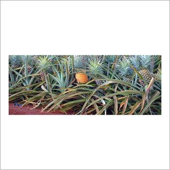 Buy Pineapple Juice