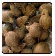 Buy Coconut