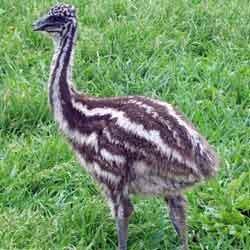 Buy Emu Chicks