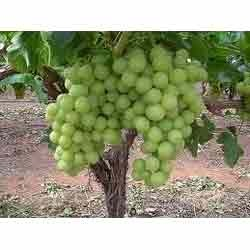 Buy Thompson Seedless Grapes