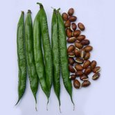 Buy Dolichos Beans Seeds
