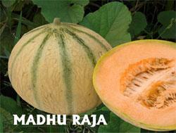 Buy Madhuraja - Muskmelon