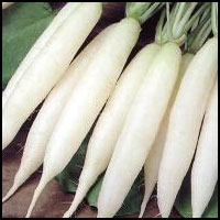 Chetki long (Radish)