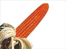 Buy Field Crops(Maize)
