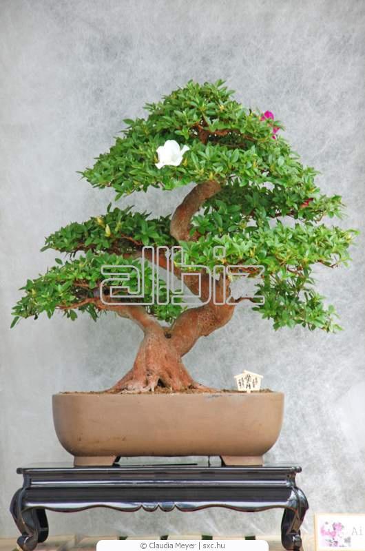 Bonsai Tree Shop In Mumbai Bonsai Tree
