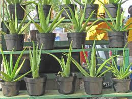 Buy Decorative Plants