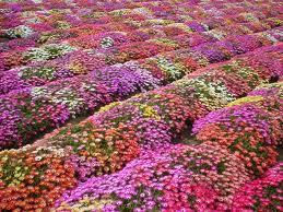 Buy Flower Seeds