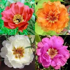 Buy Hybrid Flower Seeds