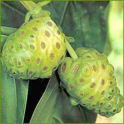 Buy Noni Juice