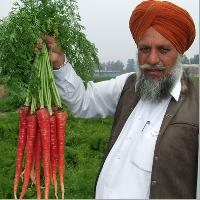 Buy Carrot Seeds